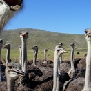 Ostriches, Oudtshoorn, Customised Garden Route Tours